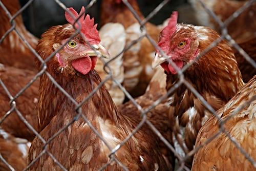 jordbruksverket höns fågelinfluensa